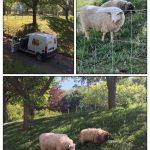 Des moutons dans le parc du lycée